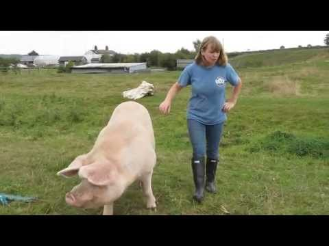 How to put up Electric Netting for Pigs Part 1