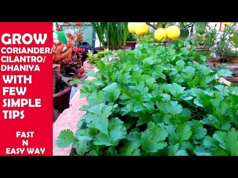 How to Grow Coriander/Cilantro/Dhaniya at Home