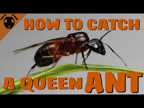 How to catch an ANT QUEEN! *Tutorial*