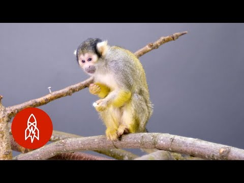 This Adorable Squirrel Monkey Is Losing Its Home