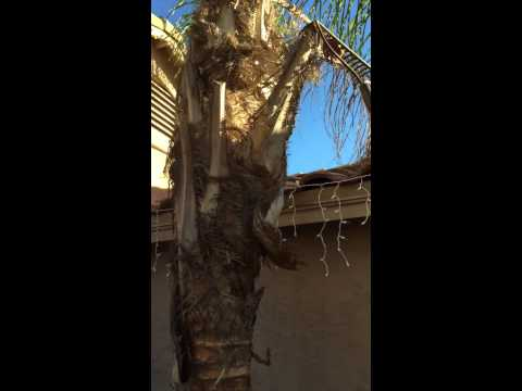 Peeling a Queen Palm