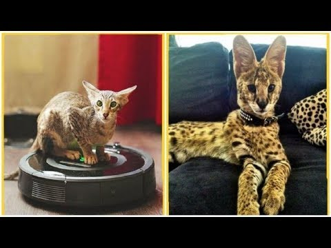 World''s Most Expensive Cats