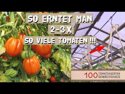 Tomaten Ausgeizen, Anbinden mit Tomatenhaken - 100 Tomatensorten Gewächshaus