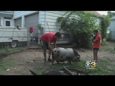 Man Fighting To Keep Pet Pot-Bellied Pig