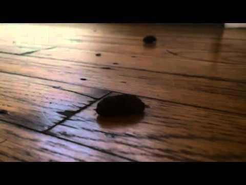 Bot fly larva