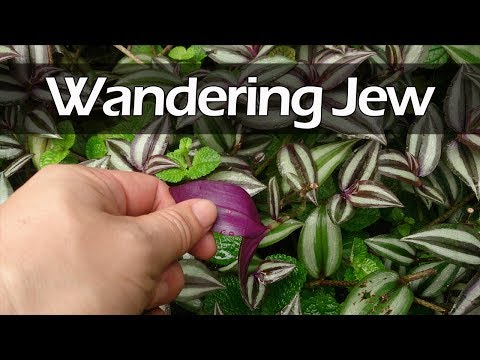 How to grow wandering jew from cuttings | Tradescantia zebrina grow and care | inchplant
