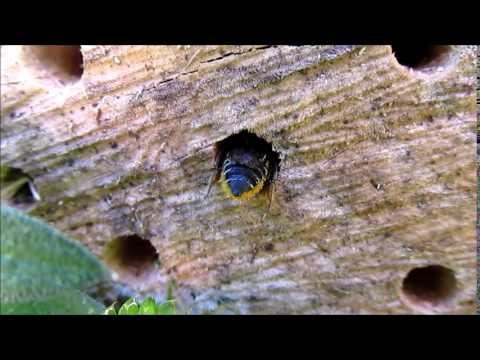 Leafcutter Bee in Homemade Bee House
