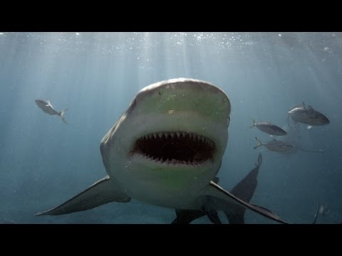 Why Do Young Bull Sharks Enter Rivers?
