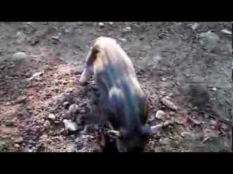 Dry Hill Farm pigs - summer 2013