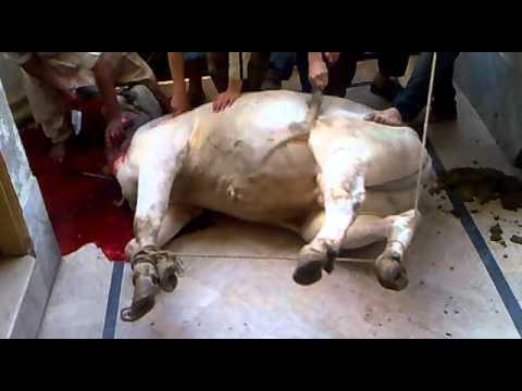 Xxx Mp4 Zaibi Bhai Cow Mp4 3gp Sex