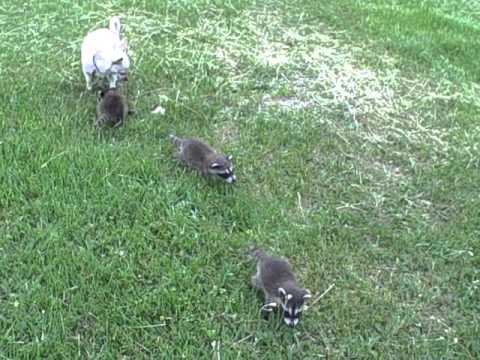 Baby Raccoons playing with the dog  6/5/11