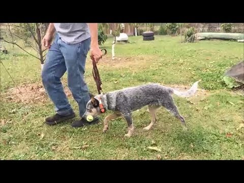 Australian Cattle Dog Nips at ankles or head butts ?
