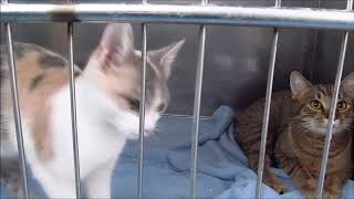 Meowing, Chirping, Yowling! Noisy Cats Talking!
