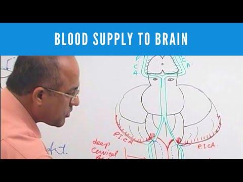 Blood Supply to Brain - Circle of Willis - Neuroanatomy