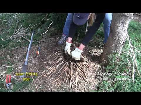 ASPARAGUS WEED CONTROL 6. Asparagus africanus (climbing asparagus)
