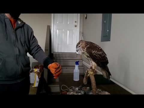 Falconry: Hawk Jumps To Fist For the First Time