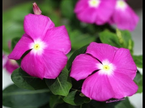 This Beautiful Plant Is Most Powerful Than Chemotherapy!