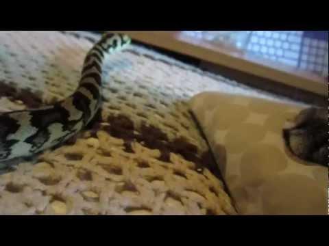 Update On Jade, My Year Old Female Coastal Carpet Python