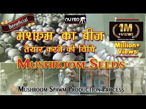 How to make Mushroom Seeds (in Hindi)   मशरूम की खेती में बीज बनाने की विधि   Nuteq Entertainment