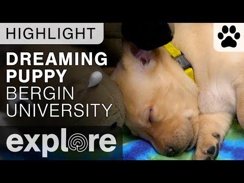 Cute Puppy Dreaming - Bergin Puppy Live Cam Highlight 10/15/17