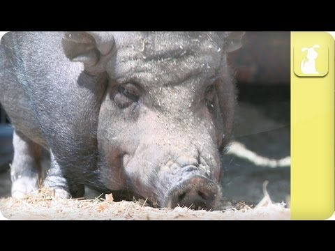 How to train a pig - My Pet Pig