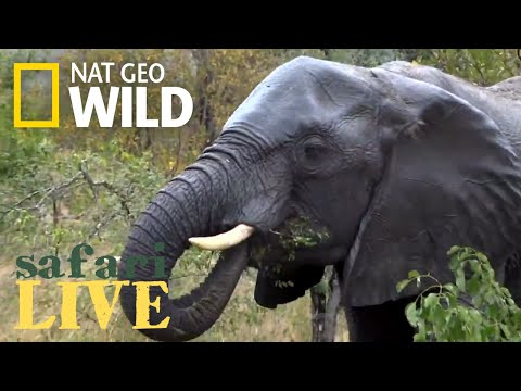 Safari Live - Day 155 | Nat Geo Wild
