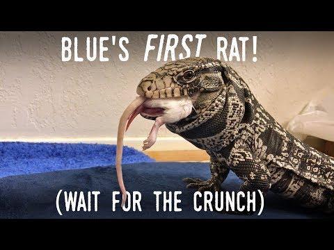 Blue's FIRST RAT!