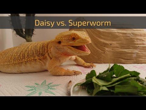 Bearded Dragon (Daisy) Eating a Superworm // 4K UHD.