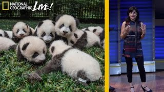 Photographing Pandas and their Return to the Wild | Nat Geo Live