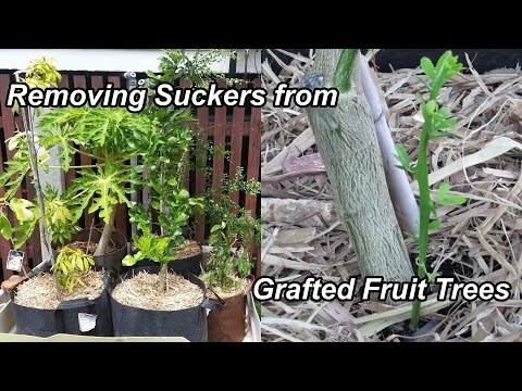 Removing Suckers from Grafted Fruit Trees