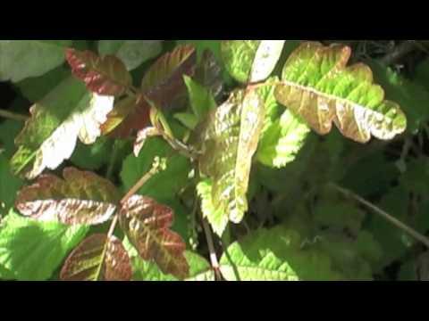Identifying Poison Oak