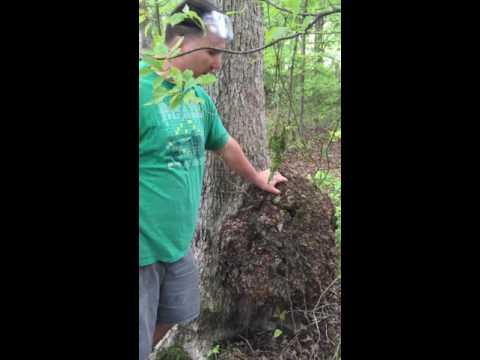 Big Oak Burl harvesting techniques