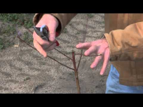Pruning a Young Peach Tree
