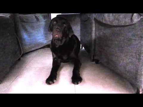 Labrador does not want to clean his ears