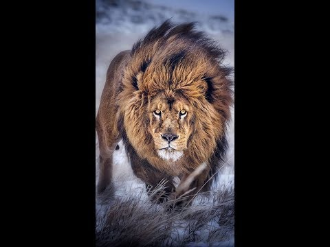 40 Best Lion Quotes Ideas And Photos