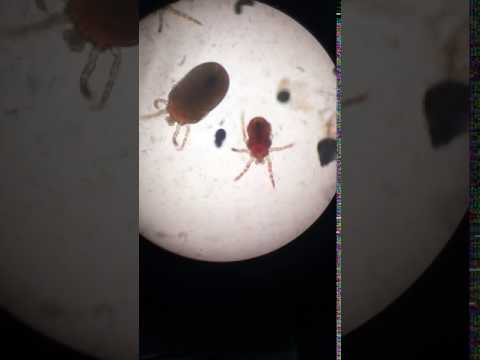 Chigger Mites in Cat Ear