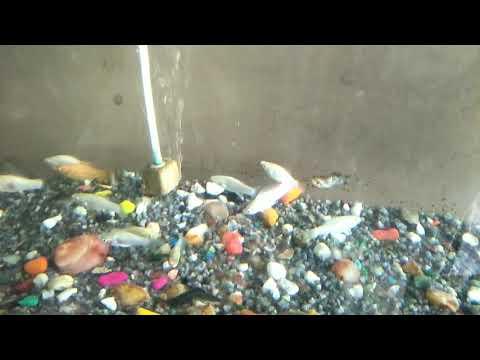 White molly fish - aquarium fishes