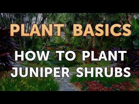 How to Plant Juniper Shrubs