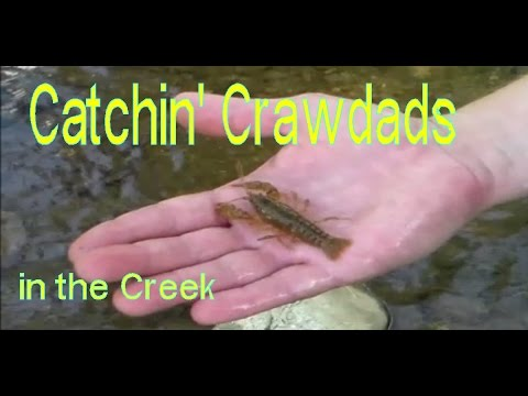 How to Catch Crawfish in the Creeks - North Carolina