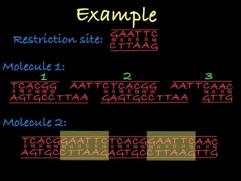 Restriction Enzymes (Restriction Endonucleases)