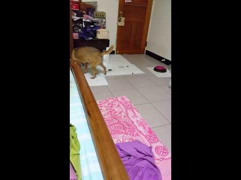 Sara pee and poo on puppy pad