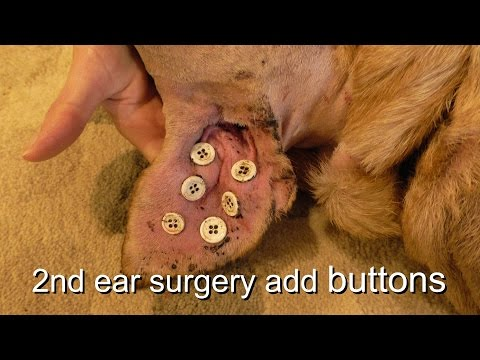 Dog Ear Hematoma Repair Buttons