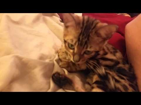 Baby Bengal Kitten, Isis Kneading on Bed - Playing and Purring