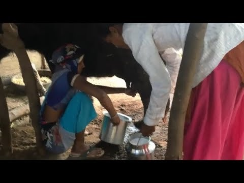 village How to Get Young Desi Women milk buffalo by hand live