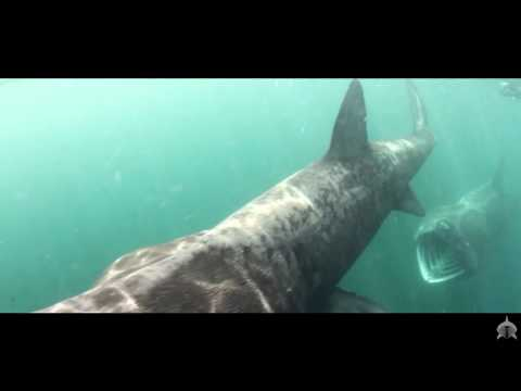 HD Scottish Wildlife Spectacular - Basking Shark Scotland 2015