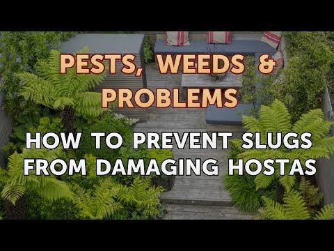 How to Prevent Slugs From Damaging Hostas