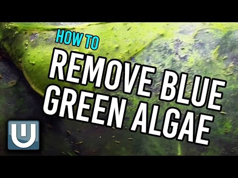 Remove Blue Green Algae from your Aquarium | How To