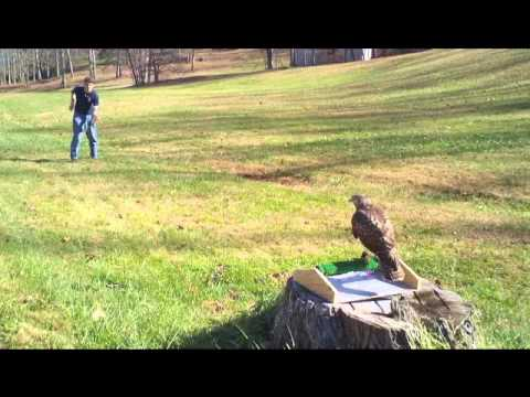 Red Tail Hawk in Training!