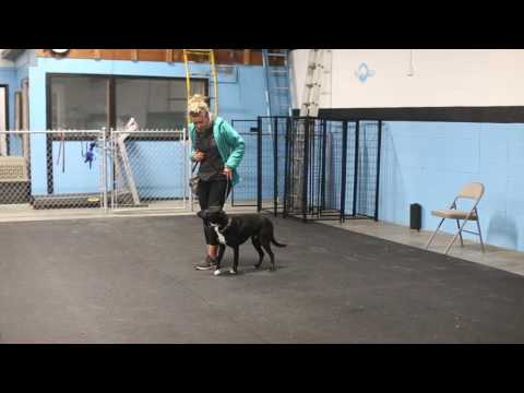 How to Teach an Automatic Sit- Training Your Dog to Heel