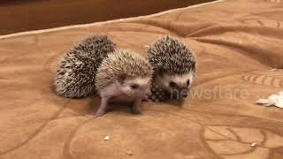 Mother hedgehog and her 25-day-old babies are the cutest